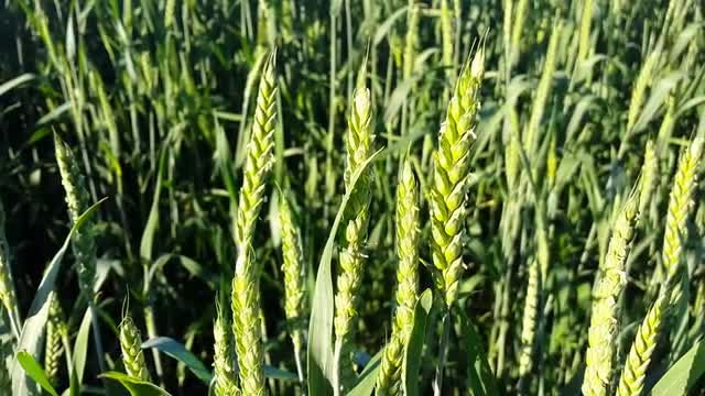 Close-up Shot Of Green Wheat : Stock Video