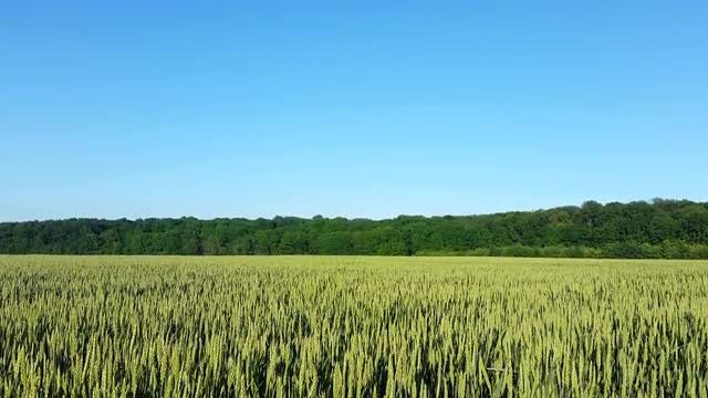 Green Field And Blue Sky: Stock Video