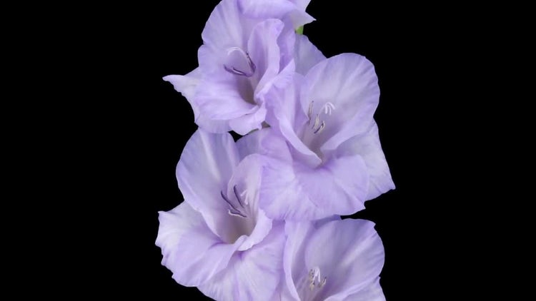 Purple Gladiolus Flower Opening: Stock Video