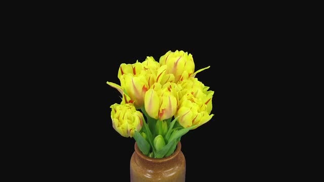 Time Lapse Of Tulips Opening In A Vase: Stock Video