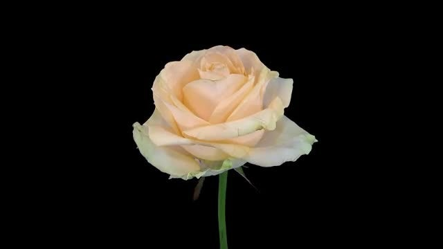 Time-Lapse Of Dying Peach Avalanche Rose: Stock Video
