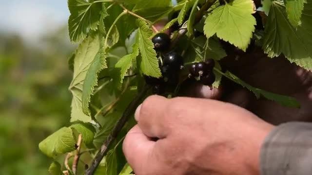 Farmer Harvesting Black Currant: Stock Video