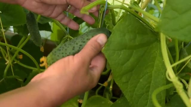 Farmer Harvesting Cucumbers In Greenhouse : Stock Video