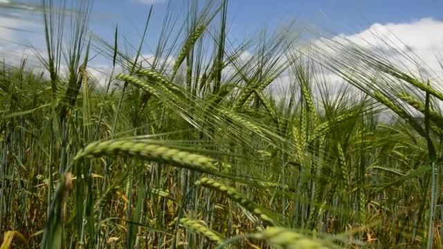 Wheat Swinging In The Wind: Stock Video