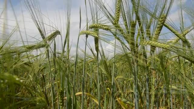 Green Wheat Ears Swinging: Stock Video