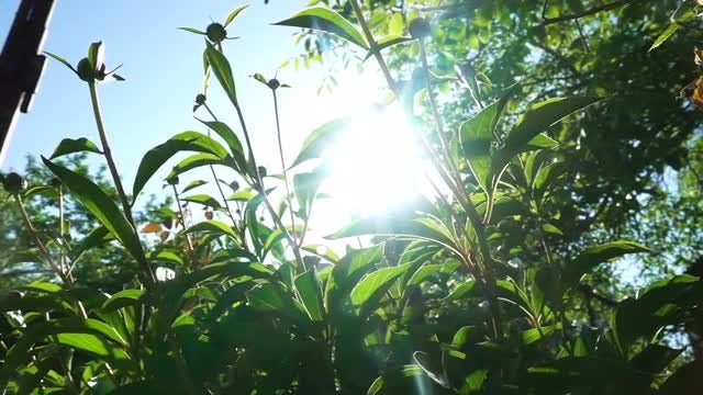 Peony Plants With Flower Buds: Stock Video