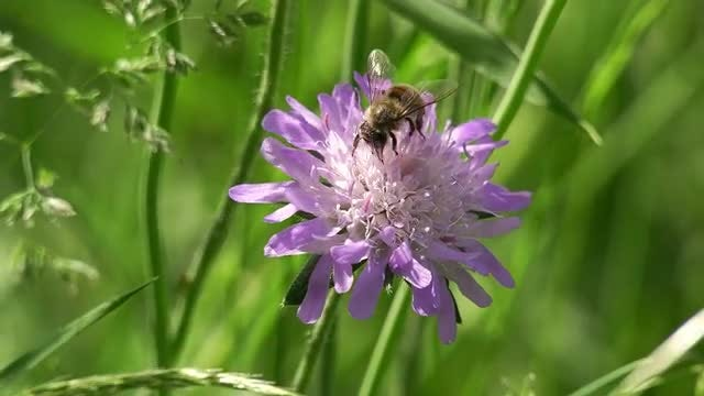 Honey Bee Feeding On Nectar: Stock Video