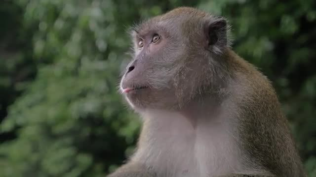 Macaque Eating And Chewing: Stock Video