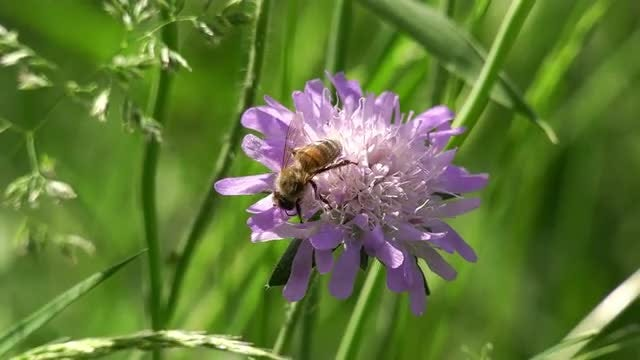 Bee Feeds On Purple Flower : Stock Video