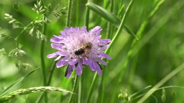 Field Scabious And Honey Bee : Stock Video
