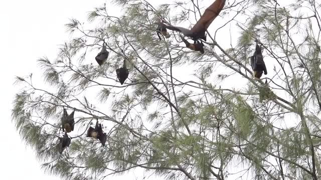 Bats On A Tree: Stock Video