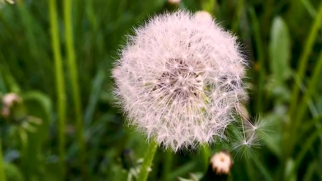 Dandelion Close-up: Stock Video