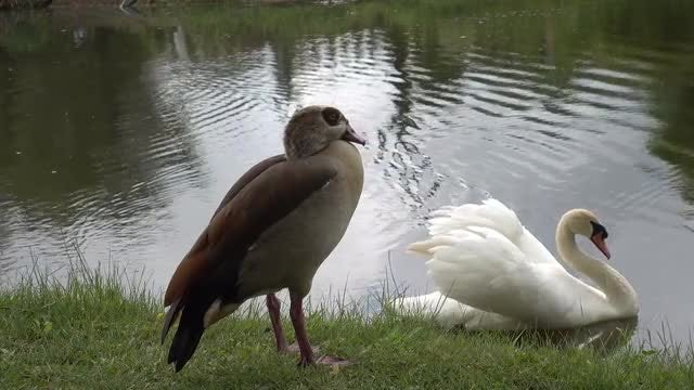 Egyptian Goose And White Swan : Stock Video