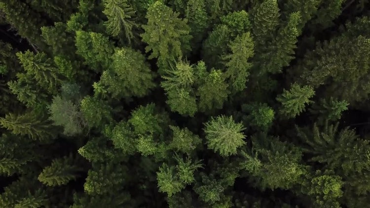 Aerial View Of Douglas Firs : Stock Video
