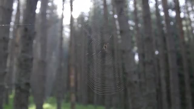 Spider Building A Cobweb: Stock Video