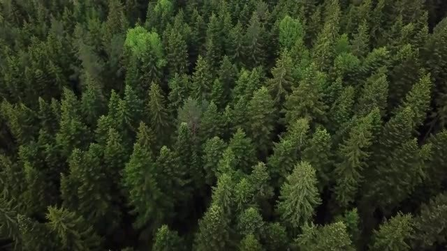 Aerial Shot Of Pine Forest : Stock Video