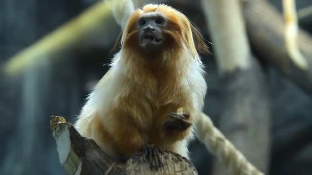 Beautiful Golden Lion Tamarin Eating: Stock Video