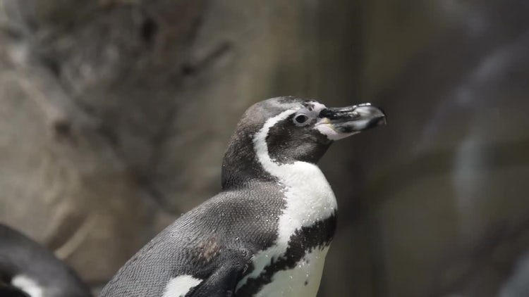 Close-up Of A Humboldt Penguin : Stock Video