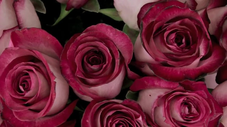 Rotating Two-toned Rose Blooms: Stock Video