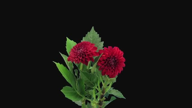 Red Dahlia Flower Opening : Stock Video