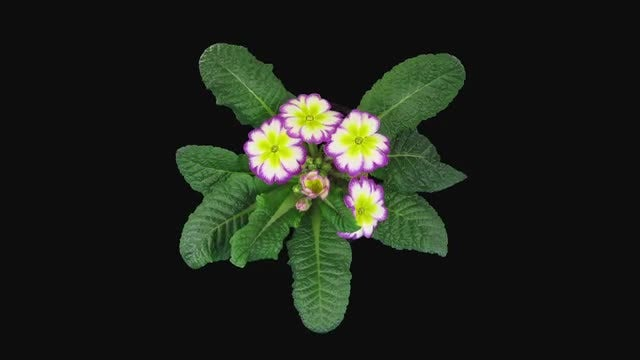 Purple-Yellow Primula Flower Blooming: Stock Video