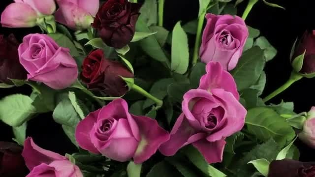 Close Up Shot Of Pink And Purple Roses Rotating: Stock Video