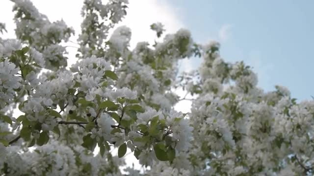 Apple Tree Blossoms: Stock Video