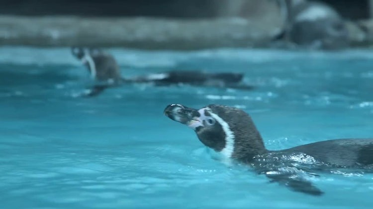 Penguins Swimming In Their Enclosure: Stock Video