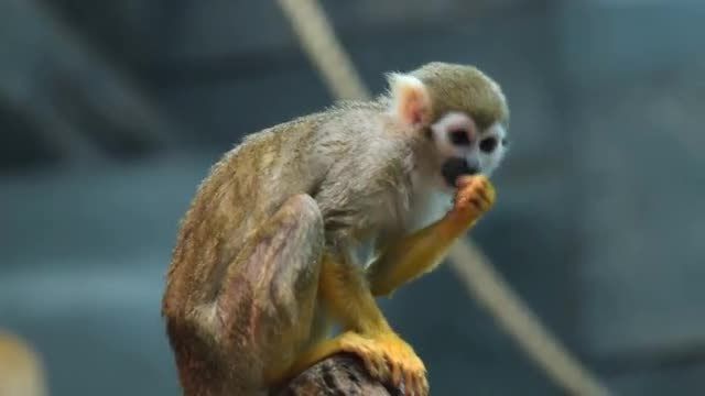 Squirrel Monkey Eating: Stock Video