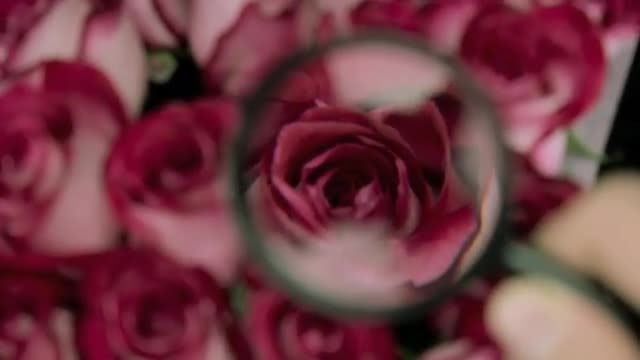 Examining Roses With Magnifying Glass: Stock Video