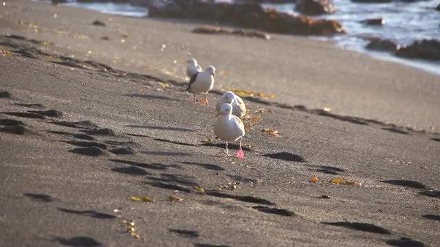 Beautiful Seagulls On The Beach: Stock Video