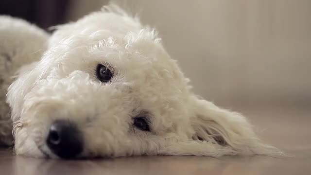 Golden Doodle: Stock Video