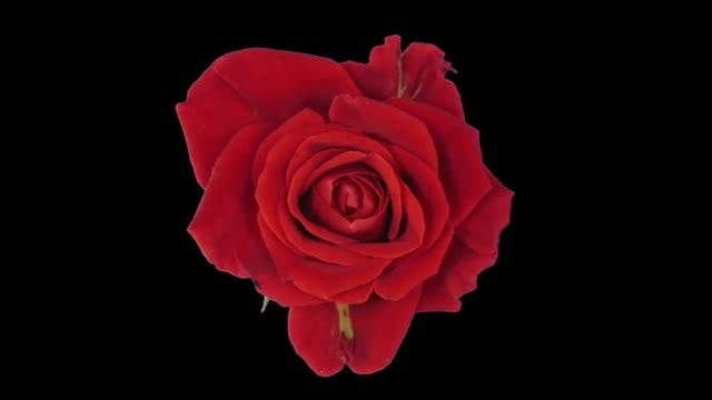 Nine Roses Opening Time-Lapse: Stock Video