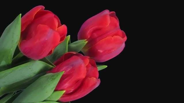 Bouquet Of Red Tulips Opening: Stock Video