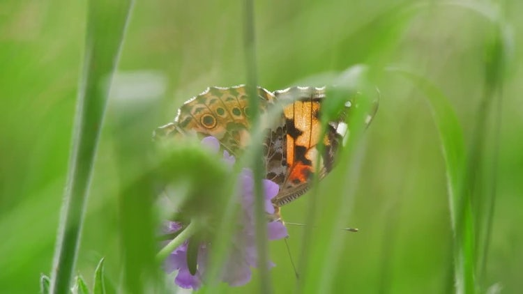 Field Scabious With butterfly: Stock Video