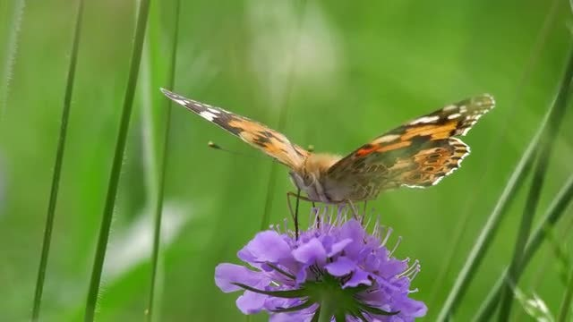 Close-up Of Butterfly On Scabious: Stock Video