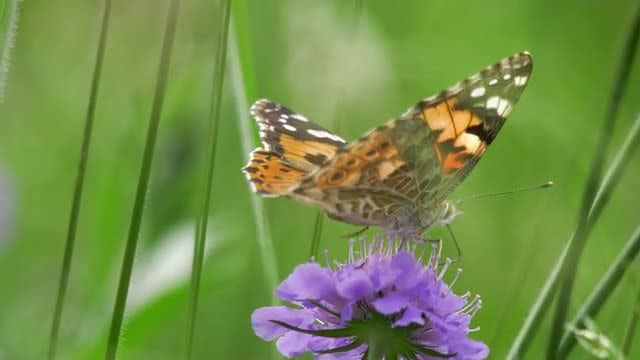 Butterflying Feeding On Nectar: Stock Video