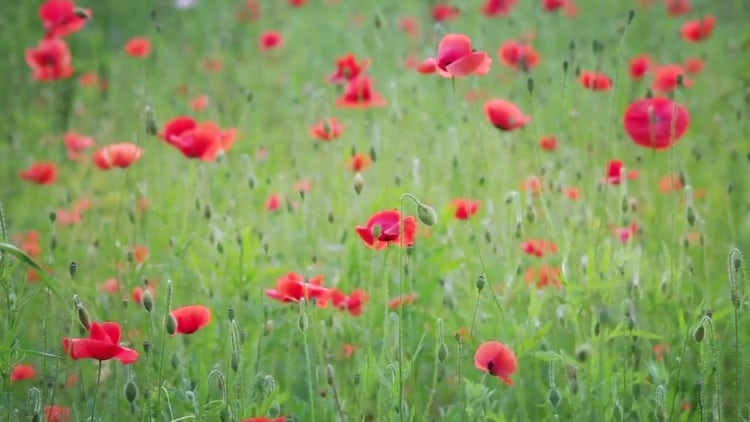 Poppy Flowers In The Meadow: Stock Video
