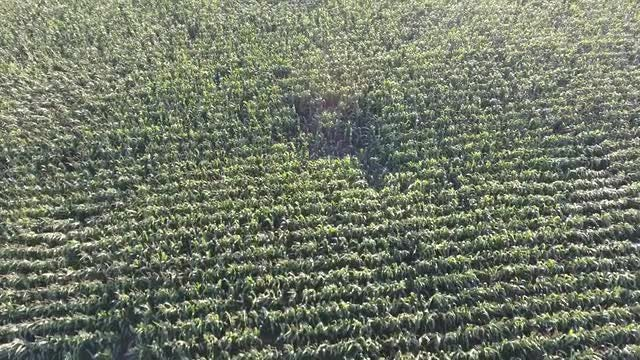 Aerial Shot Of Corn Field: Stock Video