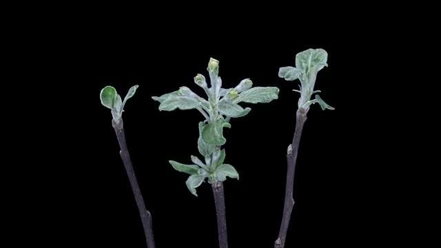 Time-Lapse of Blooming Pear Branches: Stock Video