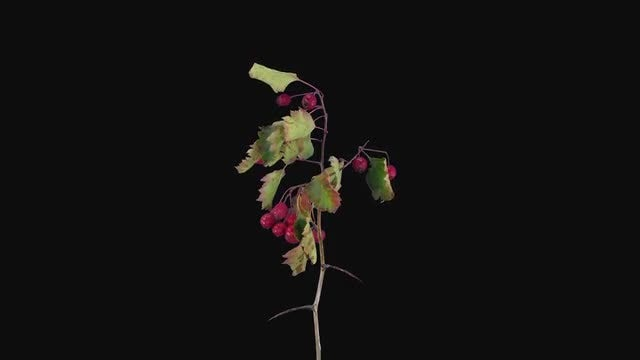 Hawthorn Plant With Berries Dying: Stock Video