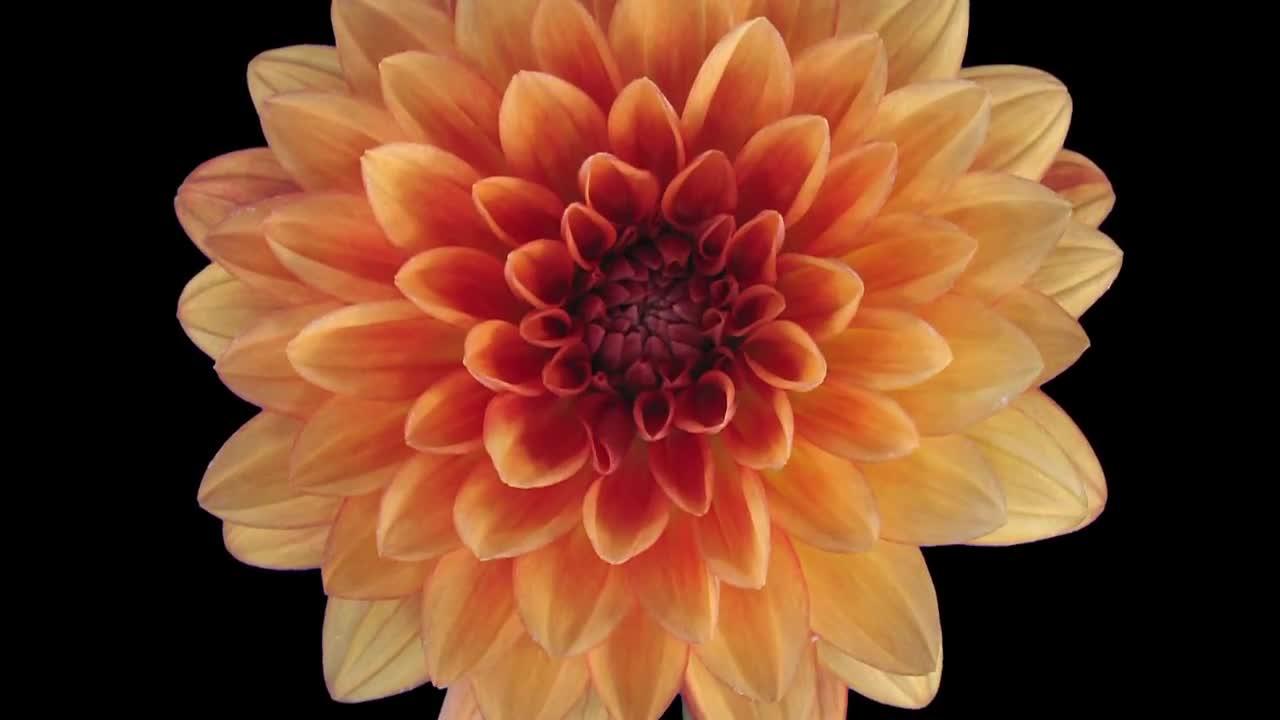 Orange dahlia flower opening stock video motion array izmirmasajfo