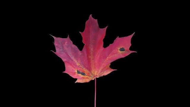 Pink Maple Leaf Dying: Stock Video