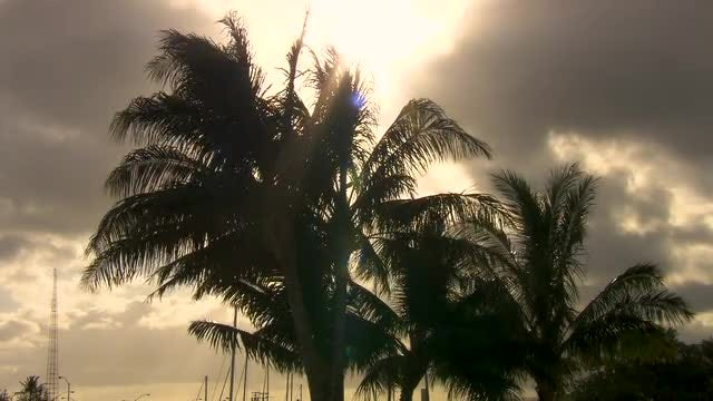 Palm Trees Blowing in The Wind: Stock Video