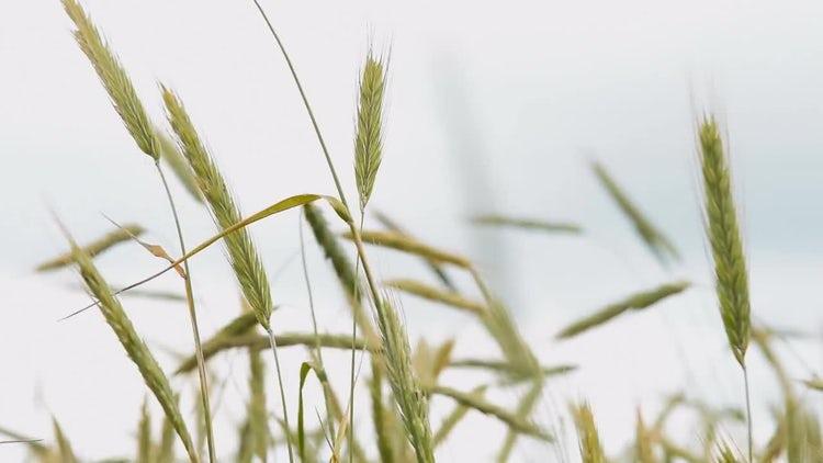 Wheat Ears Swaying In Wind: Stock Video