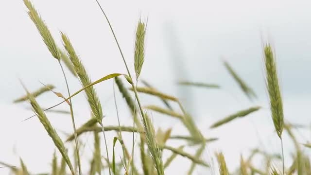 Wheat Ears Swaying In Wind: Stock Video