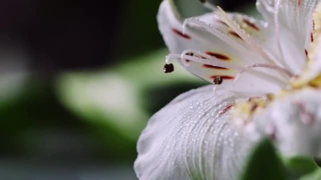 Close-up Of Flower With Dewdrops: Stock Video