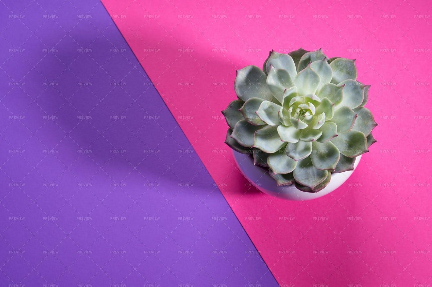Succulent On Split Background: Stock Photos