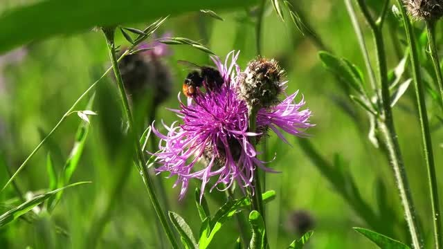Bumblebee Feeding On Nectar : Stock Video