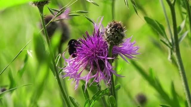 Bumblebee Feeding On Nectar: Stock Video
